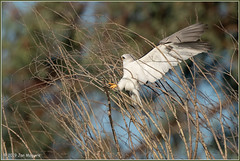 Getting the Right Stick 1162 (maguire33@verizon.net) Tags: elanusleucurus pradoregionalpark whitetailedkite bird birdofprey kite nest raptor wildlife