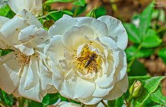 Bee in flowers (Peideluo) Tags: macro flowers nature colors campo summer flores insectos bee