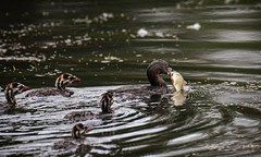 lunch time for the kids - Pied Billed Grebes (foto tuerco) Tags: pied billed grebes family feeding time oregon