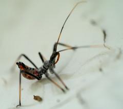 DSC03150_Assassin_Bug_Nymph (mike_feldman) Tags: assassin bug nymph