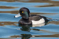 Tufted Duck 501_7540.jpg (Mobile Lynn) Tags: wildfowl birds tuftedduck ducks nature anseriformes aythyafuligula bird duck fauna wildlife estuaries freshwater lagoons lakes marshes ponds waterfowl webbedfeet hurst england unitedkingdom
