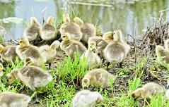 Warm Fuzzies 2060 (Jeff Brough) Tags: geese canadageese idaho marsh swamp gosling goose babies babygeese jeffbrough nestling