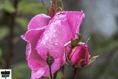 Rose en bouton (https://pays-basque.coline-buch.fr/) Tags: 2019 64 béarn coline colinebuch france pyrénéesatlantiques boutons campagne extérieur fleur montagne nature paysage rose sudouest