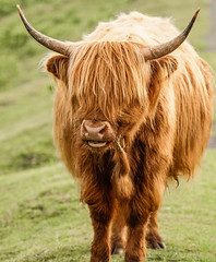 Dartmoors Hairy Coo (NikNak Allen) Tags: plymouth devon dartmoor moor moors moorland cow highland highlandcow scottish horns hair fringe nose mouth face eating chewing legs animal wild cattle portrait grass