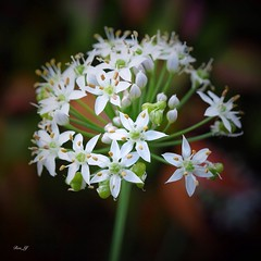 Flower From Garlic Chives (rosgloryfire) Tags: garlicflower australia blooming vibrant plants nature flora floral garden petals beautiful whiteflower macro botanical flower