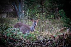 Look at me.. 👀 (der_hartmaen) Tags: rømø römö denmark dänemark holidays vacation urlaub reh outside forest hello animal wilderness