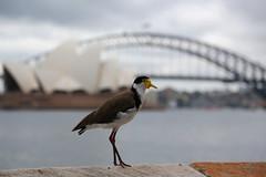 Sydney (Bert#) Tags: australia sydney bird animal opera house bridge city centre nature travel