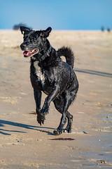 Nasser Hund 🐕 (der_hartmaen) Tags: römö rømø denmark dänemark strand sand holidays urlaub vacation outside dog hund black wet sandy play