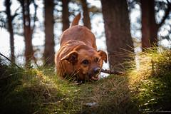My dog (der_hartmaen) Tags: rømø römö denmark dänemark holidays vacation urlaub hund dog mydog forest wald walk