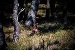 _MG_4386 (der_hartmaen) Tags: rømø römö denmark dänemark fasan colorful animal forest pheasant