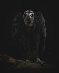 Ominous.... (Coisroux) Tags: ominous lowkey vultures birdsofprey raptors ukbirds nikond850 d850 wildlife portrait hss