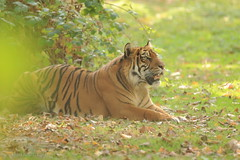 _V1A1540 (skyppi89) Tags: tigre photo animaux nature sauvage félin photographie naturaliste animalier