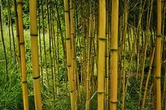 Bamboo (margaretgeatches) Tags: bamboocanes bamboo gold grass green nationaltrustproperty kingstonlacy wimborneminster dorset