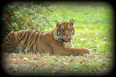 _V1A1587 (skyppi89) Tags: tigre photo animaux nature sauvage félin photographie naturaliste animalier