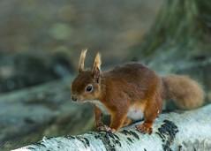 Red squirrel 4 (ian._harris) Tags: nikon d750 tamron g2 150600 wilde nature wildlife animals naturephotography natur life flickr outside naturaleza redsquirrel
