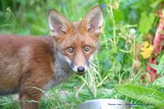 I've got my nose in the trough...:) (law_keven) Tags: urbanredfoxcub foxes urbanredfox catford london uk wildlife wildlifephotography photography redfox animals animalphotography fox cubs foxcub