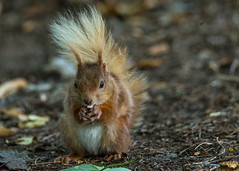 Red squirrel 2 (ian._harris) Tags: nikon d750 tamron g2 150600 wilde nature wildlife animals naturephotography natur life flickr outside naturaleza redsquirrel
