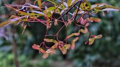 Acer Detail (margaretgeatches) Tags: acerkeys acer purple green pink nationaltrustproperty kingstonlacy wimborneminster dorset