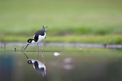 IMG50227b (Phátography 分店) Tags: bird birdwatching blackneckedstilt stilts california canon canoneos7dmarkii ef400mmf28lisusm legglake legglakepark outdoor park wildlife