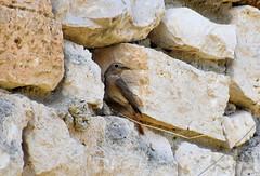 Rougequeue à front  blanc Femelle (Jean-Daniel David) Tags: oiseau passereau rougequeueàfrontblanc rougequeue maison façade pierre faune closeup grosplan nid nature nikon nikond5600 afpnikkor70300mm14563ged trescouvieux lavalsaintroman occitanie france gard femelle