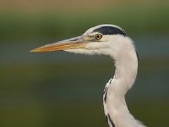 Heron (PhotoLoonie) Tags: heron greyheron wadingbirds bird wildlife nature