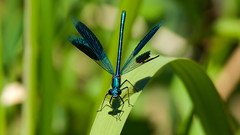 The Survivor ( Calopteryx Splendens ) (Franck Zumella) Tags: butterfly dragonfly bleu papillon libellule blue red color tree green leave nature colors sphinx rouge fly leaf branch moth vivid vert vol arbre couleur insecte geen feuille colibri branche virgo calopteryx splendens