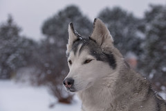 Aurora (Cruzin Canines Photography) Tags: animal animals canon canoneos5ds canon5ds canine 5ds eos5ds dog dogs pet pets husky huskies alaskanhusky siberianhusky outdoors outside nature naturallight naturepreserve gardenofthegods colorado coloradosprings aurora portrait