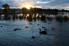 Point Hut Pond (RossCunningham183) Tags: canberra australiancapitalterritory act sunset lake water reeds blackswan swan duck eurasiancoot coot