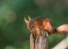 Red squirrel 1 ( Explored ) (ian._harris) Tags: nikon d750 tamron g2 150600 wilde nature wildlife animals naturephotography natur life flickr outside naturaleza redsquirrel