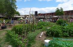 Lavender Place Community Gardens, June 2019 (karenblakeman) Tags: reading uk lavenderplace communitygardens foodgrowing june 2019 berkshire