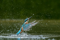 Male Kingfisher ( Alcedo atthis ) (Steven Whitehead) Tags: kingfisher fishing fish water pond flying diving blue orange wet canon canon1dx canon1dxmk2 2019 nature wildlife wild wings bbc birds bird