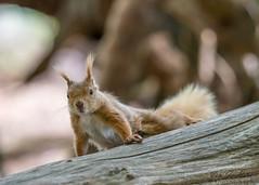 Red squirrel 3 (ian._harris) Tags: nikon d750 tamron g2 150600 wilde nature wildlife animals naturephotography natur life flickr outside naturaleza redsquirrel