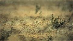 Brise du soir. (*Jost49* (±Off)) Tags: nature campagne country champ field blé wheat plante plant soir evening vent wind brise breeze dof seigle rye
