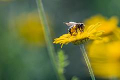 Pollen gathering (UpuautX) Tags: sony a7iii 90mm macro makro pollen bee biene summer sommer switzerland schweiz
