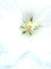 white flower (hussi48) Tags: white weis jasmin blüte backlight zart blass romantisch crazytuesday gegenlicht