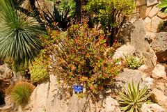 Euphorbia (zawtowers) Tags: monaco principality warm hot sunny sunshine blue sky baking thursday 27th june 2019 jardin exotique exotic gardens attraction sights euphorbia water retaining plants desert