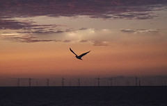 Sunset flight (Gill Stafford) Tags: gillstafford gillys image photograph wales northwales conwy abergele sunset pensarn beach sands dusk summer july windfarm turbines power electricity bird seagull sea gull flying flight