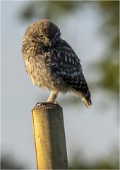 Little Owl owlet (Athene noctua) (Jud's Photography) Tags: littleowlathenenoctua littleowl athenenoctua owl uk owlet littleowlowlet eveningsunshine birdofprey raptor littleowlowletathenenoctua