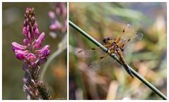 La belle et ... la bête...😉 (gerardcarron) Tags: canon80d faune fleurs flore flowers lacthuile macro nature
