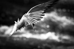DSC_5971 (kryztophe) Tags: common tern charrán común gaivinacomum flussseeschwalbe küszvágó csér речная крачка 普通燕鸥 visdief sterna comune fisktärna makrellterne rybitwa rzeczna rybár riečny rybák obecný fjordterne kalatiira gewone sterretjie アジサシ nikon sigma oiseau bif bird flight ciel animal eau d500