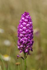A mature Pyramidal Orchid - Anacamptis pyramidalis (favmark1) Tags: kent orchids kentorchids wildorchids britishorchids pyramidalorchids anacamptispyramidalis