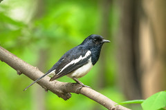 Oriental Magpie Robin (sahulalit) Tags: migration tree feathers blue birds wing color environment beautiful fauna feather ornithology background avian white colorful branch black beak green animal wild wildlife nature bird