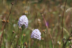 Anacamptis pyramidalis var alba (favmark1) Tags: orchids kent kentorchids wildorchids britishorchids whitepyramidalorchids anacamptis pyramidalis var alba anacamptispyramidalisvaralba