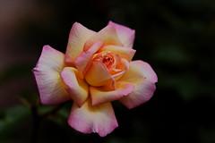 flower 1783 (kaifudo) Tags: sapporo hokkaido japan botanicalgarden rose flower 札幌 札幌市 北海道 北大植物園 薔薇 nikon d810 sigmaapomacro105mmf28 sigma 105mm macro kaifudo raduttore