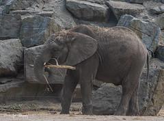 BVG_8984 (Borreltje.com) Tags: beeksebergen dierentuin safari animals animal dieren dier nikon photography