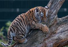 BVG_8687 (Borreltje.com) Tags: beeksebergen dierentuin safari animals animal dieren dier nikon photography