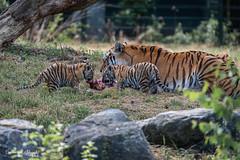 BVG_8486 (Borreltje.com) Tags: beeksebergen dierentuin safari animals animal dieren dier nikon photography