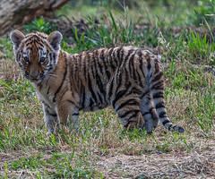BVG_8046 (Borreltje.com) Tags: beeksebergen dierentuin safari animals animal dieren dier nikon photography