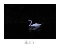 Light in the dark (Marian Smeets) Tags: zwaan swan lowkey nikond750 mariansmeets 2019 photoworkshop fotografieworkshop peterlambrichs oostmaarland nederland netherlands dutch