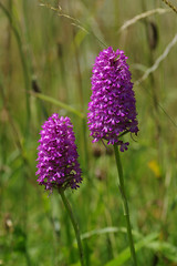 Mature Pyramidal Orchids - Anacamptis pyramidalis (favmark1) Tags: kent orchids kentorchids wildorchids britishorchids pyramidalorchids anacamptispyramidalis